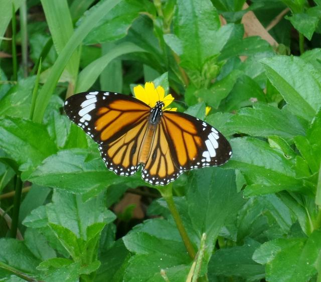 common tiger.jpg