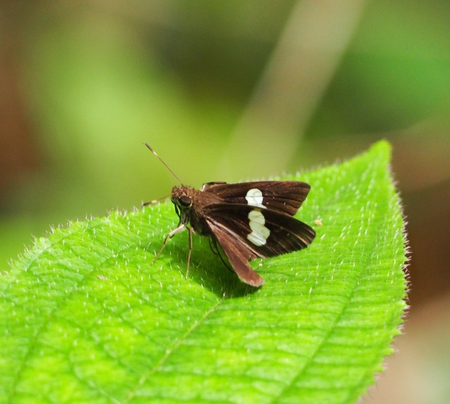 Common Banded Demon