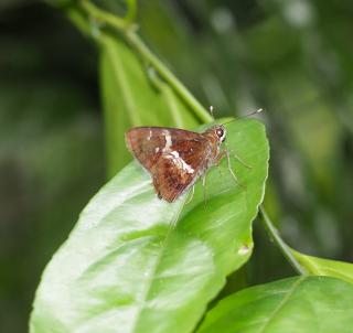Tree Flitter (Hyarotis adrastus)