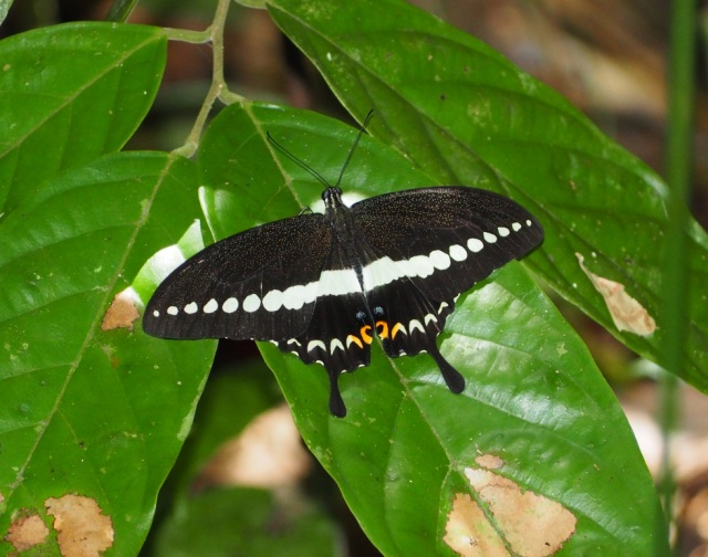 banded-swallowtail
