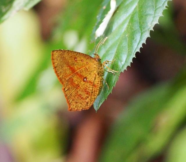 (moth2)Tetragonus catamitus
