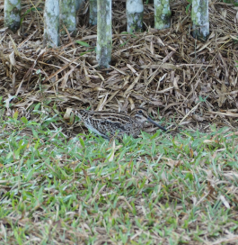 Pin-tailed Snipe (Gallinago stenura)