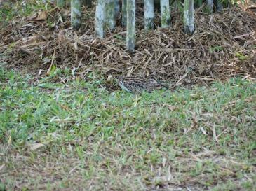 Pin-tailed Snipe (Gallinago stenura)