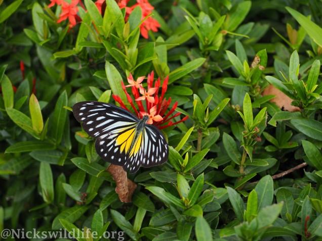 Malayan Wanderer (Pareronia valeria)