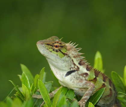 Forest Lizard (Calotes emma)