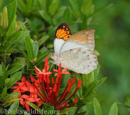 Great Orange Tip (Hebomoia glaucippe)