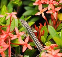 Asian Grass Lizard (Takydromus sexlineatus)