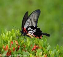 Female Great Mormon (Papilio memnon agenor)