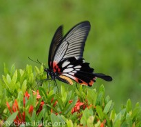 Female Great Mormon (Papilio memnon agenor)